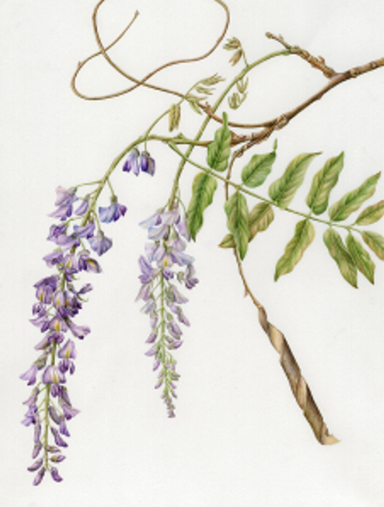 """""""Aesculus californica,"""" California Buckeye, watercolor by Joan Keesey, © 2013, all rights reserved."""