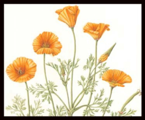 Eschscholzia californica, California Poppies, watercolor, © Joan Keesey, 2016, all rights reserved.