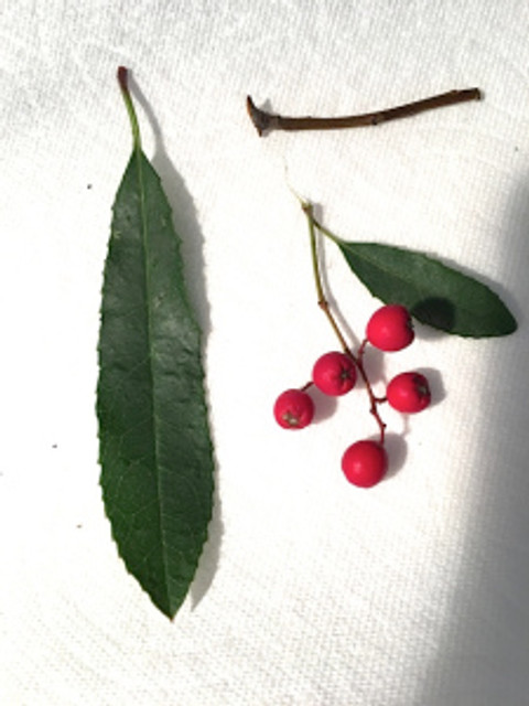 Workshop participants applied their skills to drawing Toyon berries and leaves. Photo by Gilly Shaeffer, © 2018.