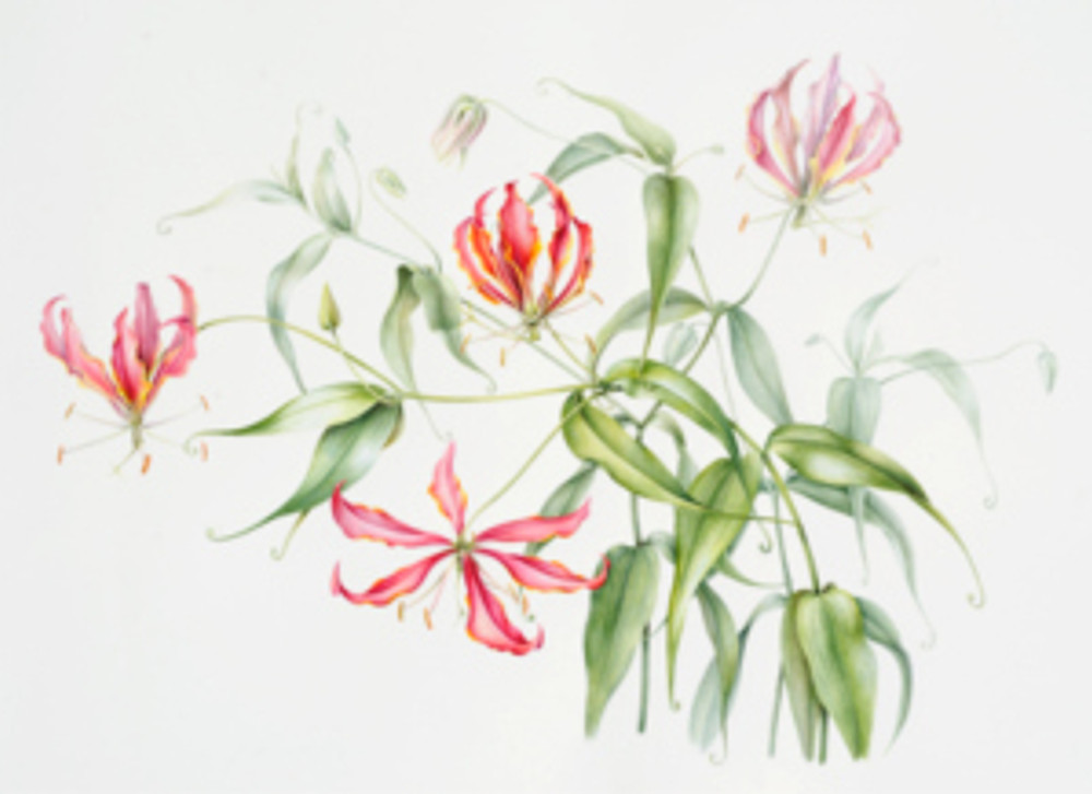 Gloriosa, watercolor by Anita Walsmit Sachs, 2014, all rights reserved.