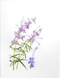 Trichostema by Lee McCaffree, © 2013, all rights reserved.