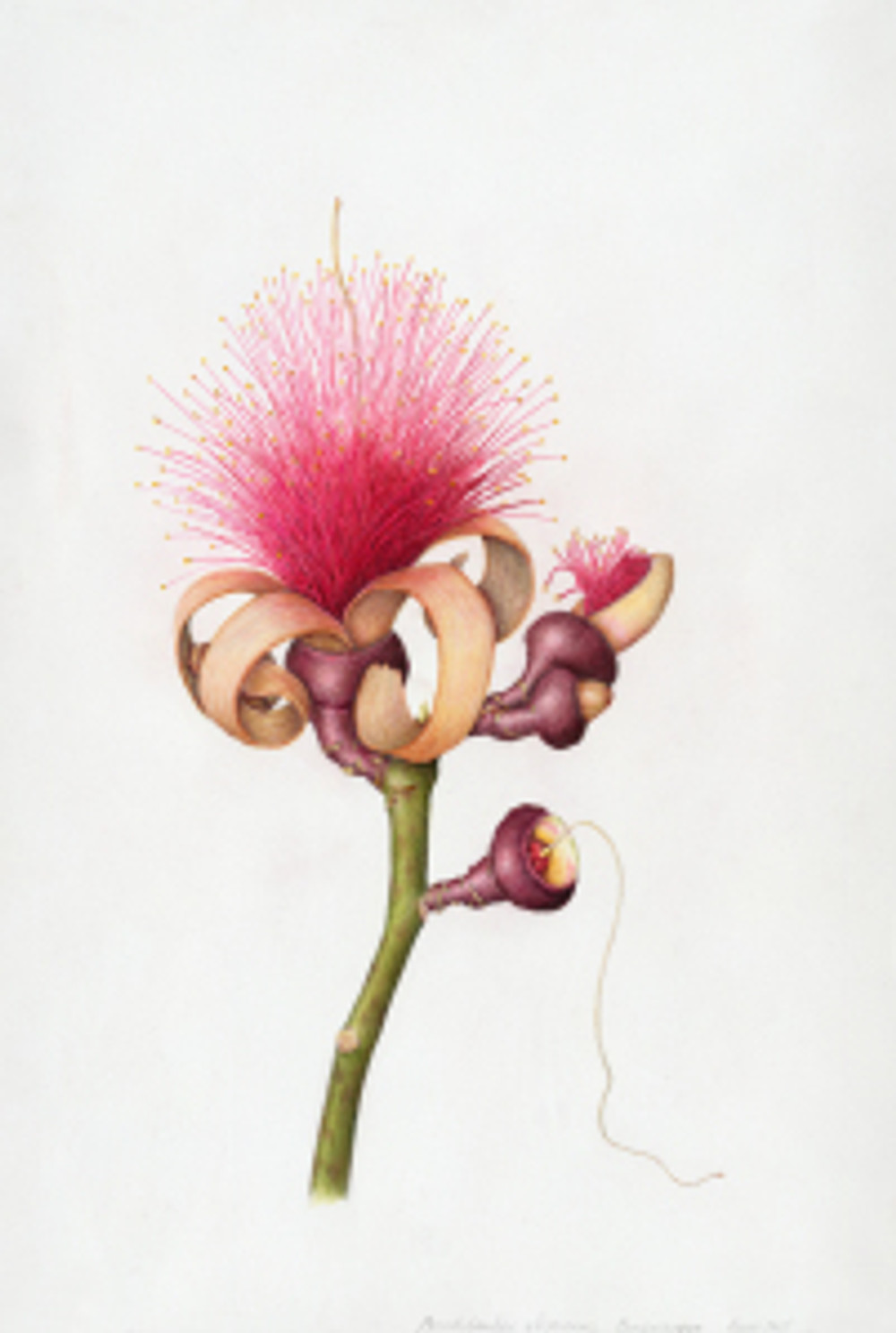 Melanie Campbell-Carter, colored pencil, Pseudobombax ellipticum, shaving brush tree, © 2015, all rights reserved.