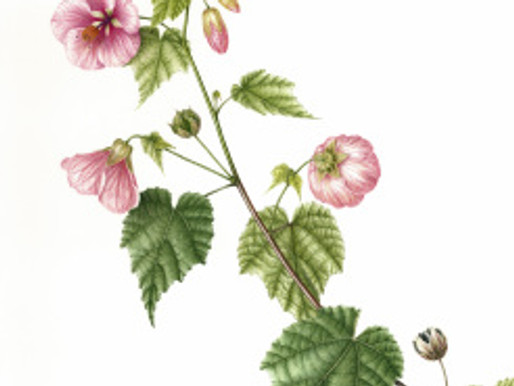BAGSC Members Accepted to the 14th Annual Botanical Art Exhibition at Filoli