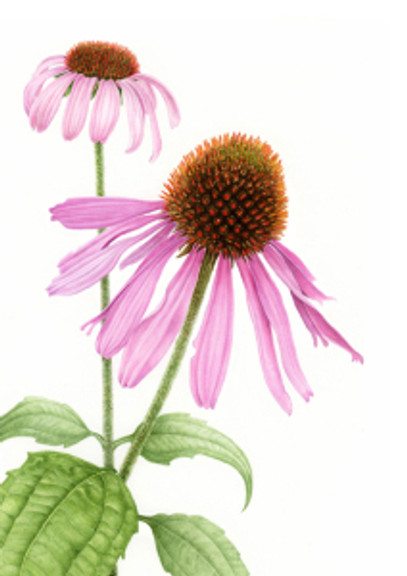Margaret Best, Echinacea purpurea or purple cone flower, © 2015, All rights reserved.
