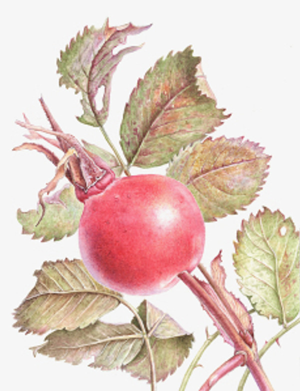 Rosa Canina, Rosehip, watercolor by Margaret Best