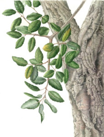 Cork Oak Tree, watercolor on paper, Gilly Shaeffer, © 2017, all rights reserved.