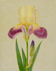 """""""Iris II""""  Egg Tempera on Panel  17"""" x 13"""", Carrie Di Costanzo, © 2019, all rights reserved."""