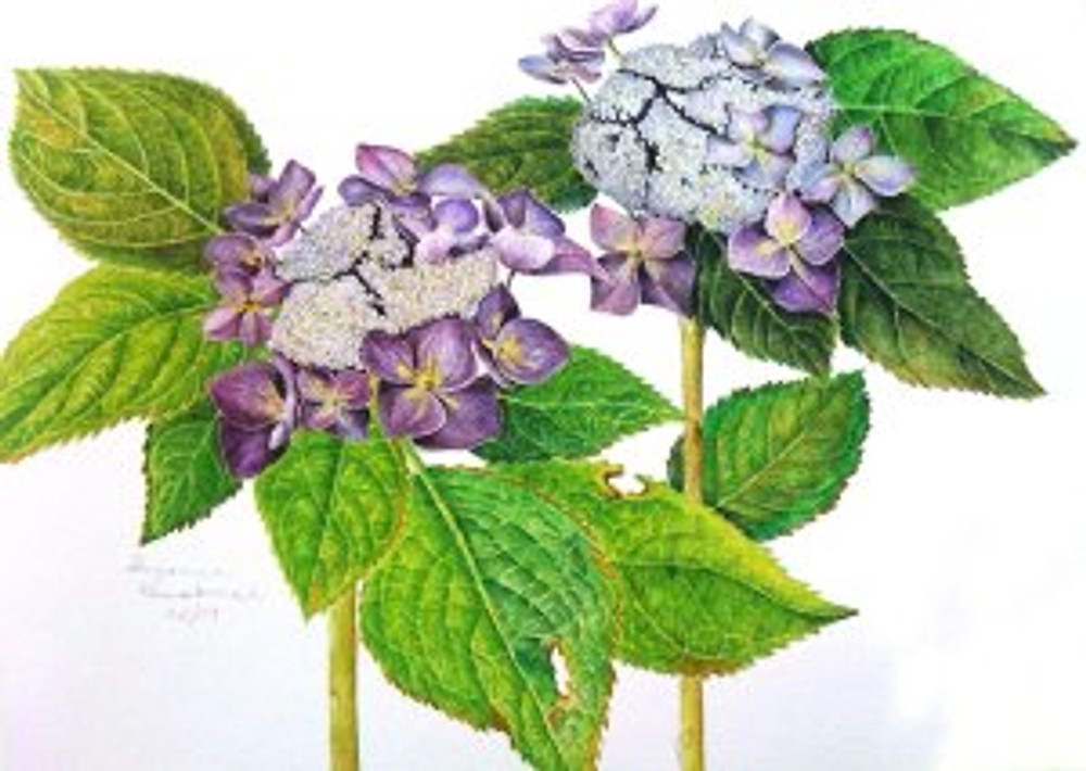 Lacecap Hydrangea, watercolor by Sue Kuuskmae, © 2011, all rights reserved.