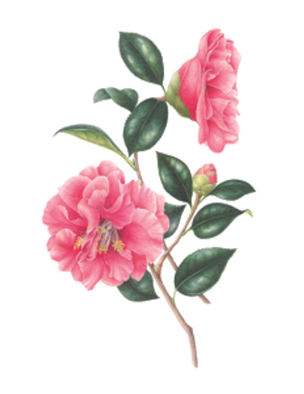 """Gilly Shaeffer, """"Camellia,"""" watercolor on paper, 2015, all rights reserved."""