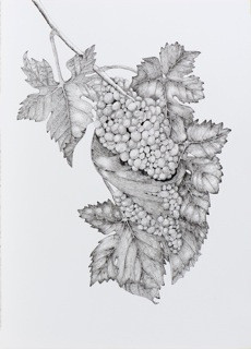 """Arillyn Moran-Lawrence, """"Elegant Syrah,""""  pen and ink on paper. © 2014, all rights reserved."""