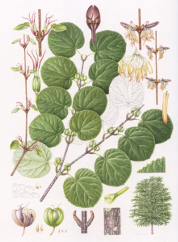 Cercidiphyllum magnificum, watercolor on paper, © 2016, Mieko Ishikawa