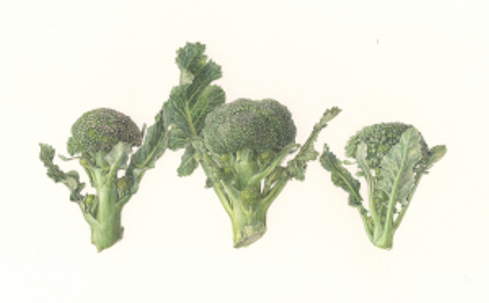 Broccoli, watercolor by Asuka Hishiki, © 2016.