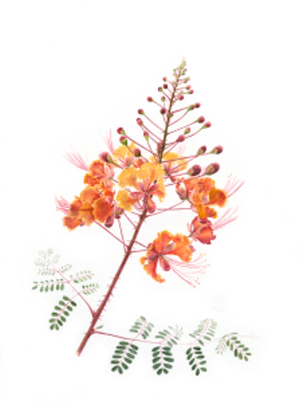 Caesalpinia pulcherrima, Melanie Campbell-Carter, © 2018. Image protected by Digimarc.