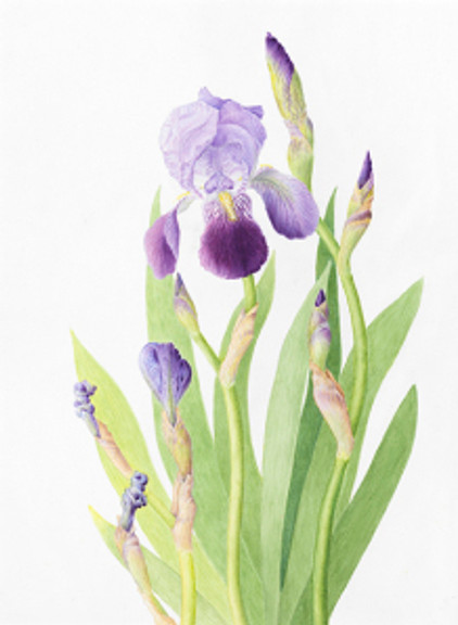 """""""Iris,"""" Iris, watercolor by Alison L. Denning, © 2013, all rights reserved."""