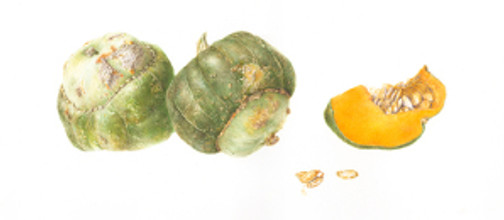 Deborah B. Shaw, Cucurbita maxima, Buttercup Squashes and Section, watercolor on paper. © 2013, all rights reserved.