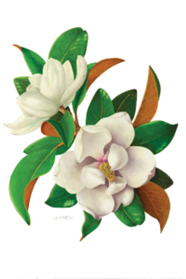 Magnolia, by Cristina Baltayian, colored pencil, © 2011, all rights reserved