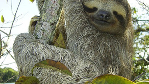 Did you know: The Sloth Carries An Ecosystem On Its Back  🎥
