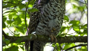 """Did you know:  Another threatened Australian Species - the """"Powerful Owl""""  🎥"""
