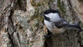 Did you know: Bird Calls That Cannot be Traced by Predators