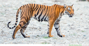 Good News for a Change: Nepal's Tiger Population is growing quickly 🎥