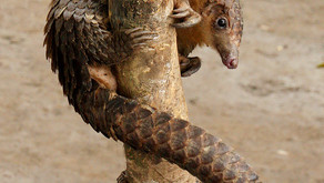 Good News for a Change: Nigerians Fight to Protect the Pangolin 🎥