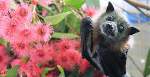 Did you know? Flying foxes are Major Pollinators of Eucalyptus and Rainforests in Australia