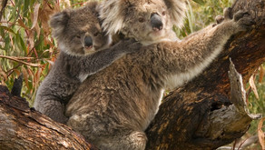 Did You Know: A Baby Koala Is Called A Joey 🎥