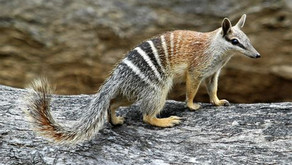 Did you know: The Australian Numbat - another Endangered Species  🎥