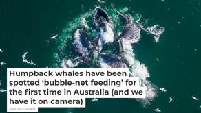Guest Blog: Humpback Whales Migration Special Along Australia's Coastline 🎥