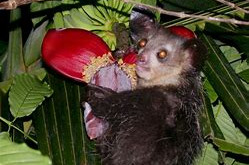 """Did you know: Acting as Honorary Woodpecker - the """"Aye-aye"""" of Madagascar 🎥"""