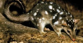 Endangered Australian Species Series - Northern Quoll 📽