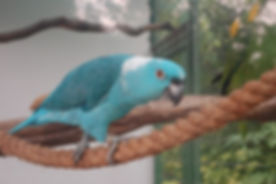 blue fronted amazon.jpg