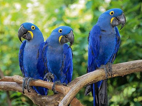 hyacinth-macaws.jpg