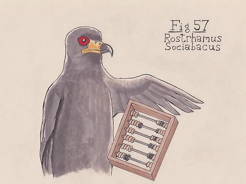 Fig. 57 Rostrhamus Sociabacus (Original)