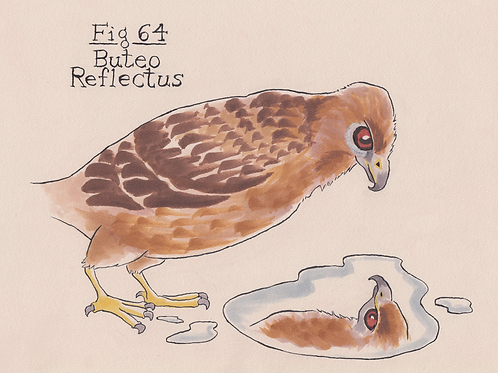 Fig. 64 Buteo Reflectus (Original)