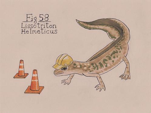 Fig. 58 Lissotriton Helmeticus (Original)