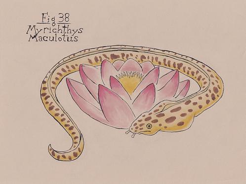 Fig. 38 Myrichthys Maculotus (Original)