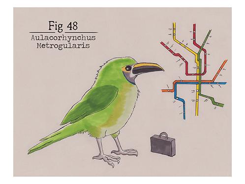 Fig. 48 Aulacorhynchus Metrogularis (Print)