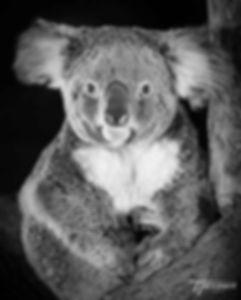 koala-vf.jpg