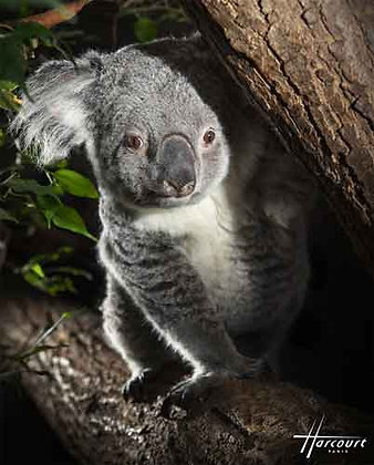 Lot de 5 Cartes Postales Koala