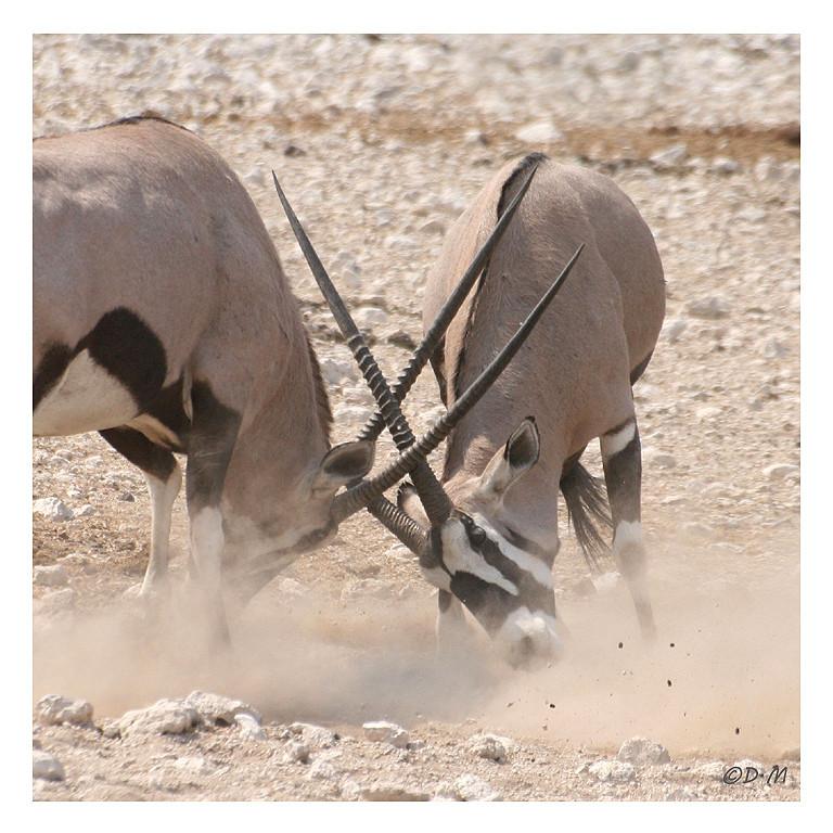 Etosha National Park Oryx