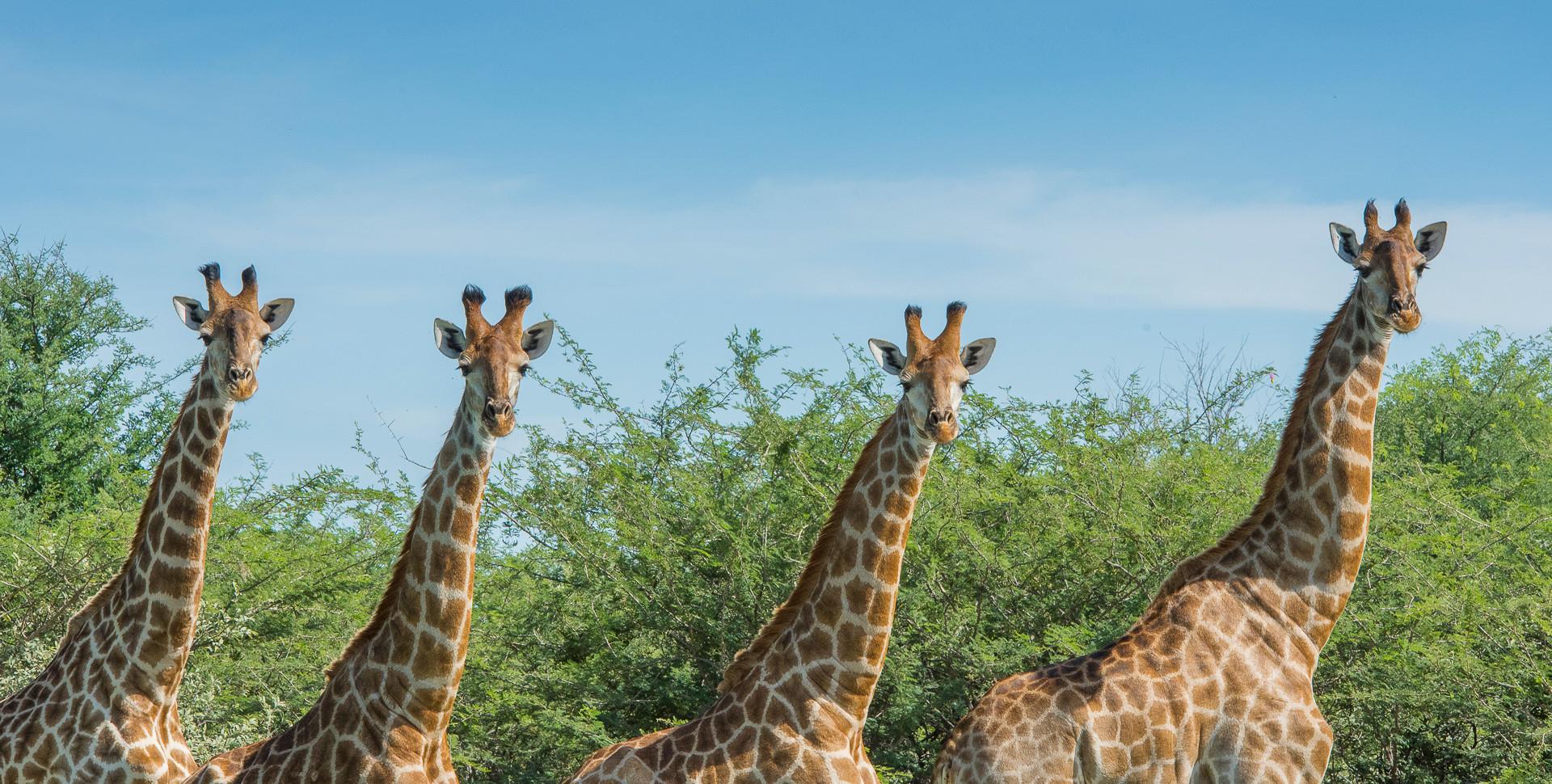 Giraffe Leopard Plains
