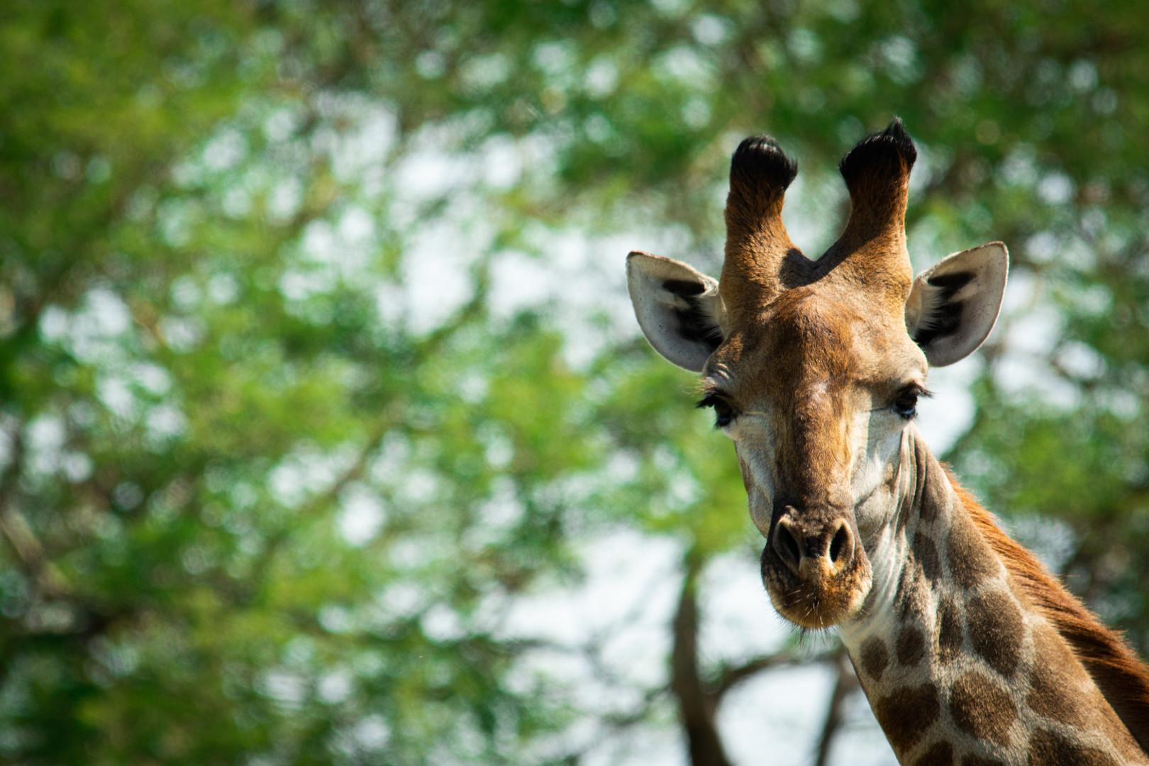 Leopard Plains Giraffe