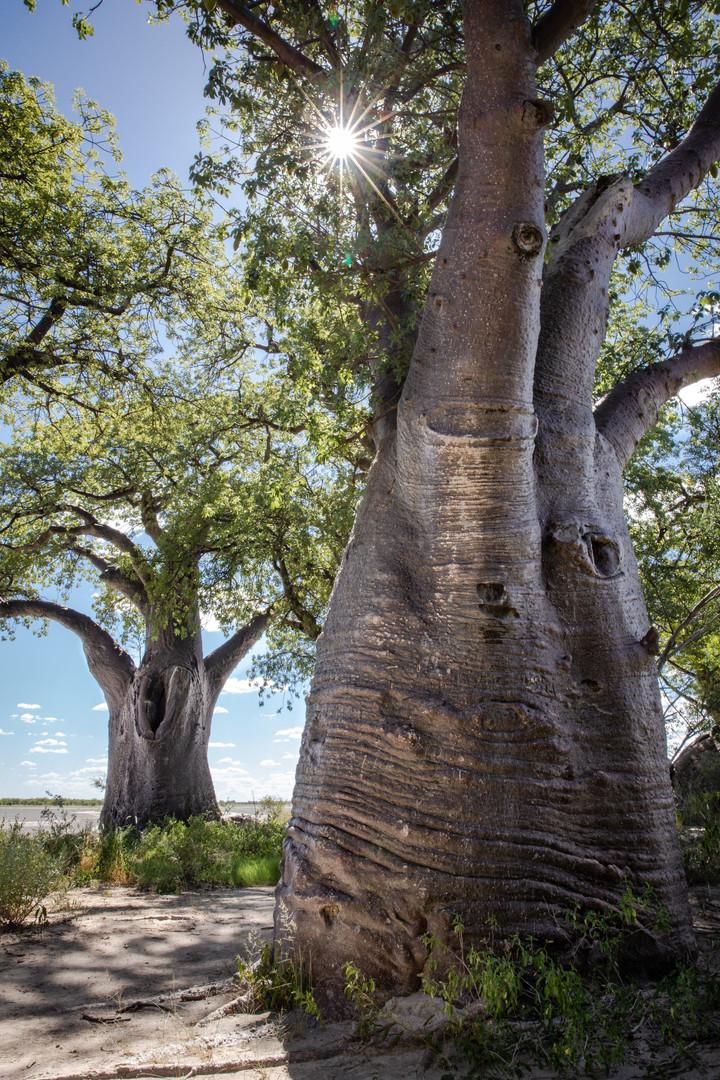 Nxai Pan Bains Baobab