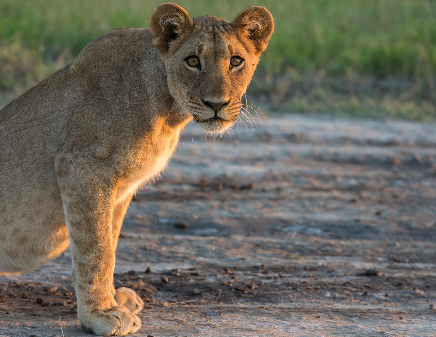 Nxai Pan Lion