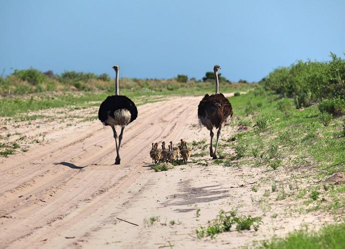 Ostrich Nxai Pan