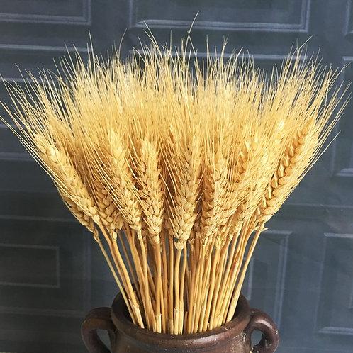 23cm Wheat Ear Naturally Dried