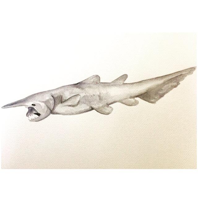 20/365 Goblin Shark