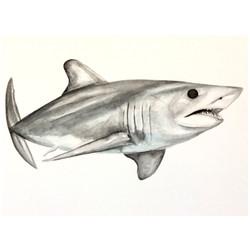 17/365 Shortfin Mako Shark