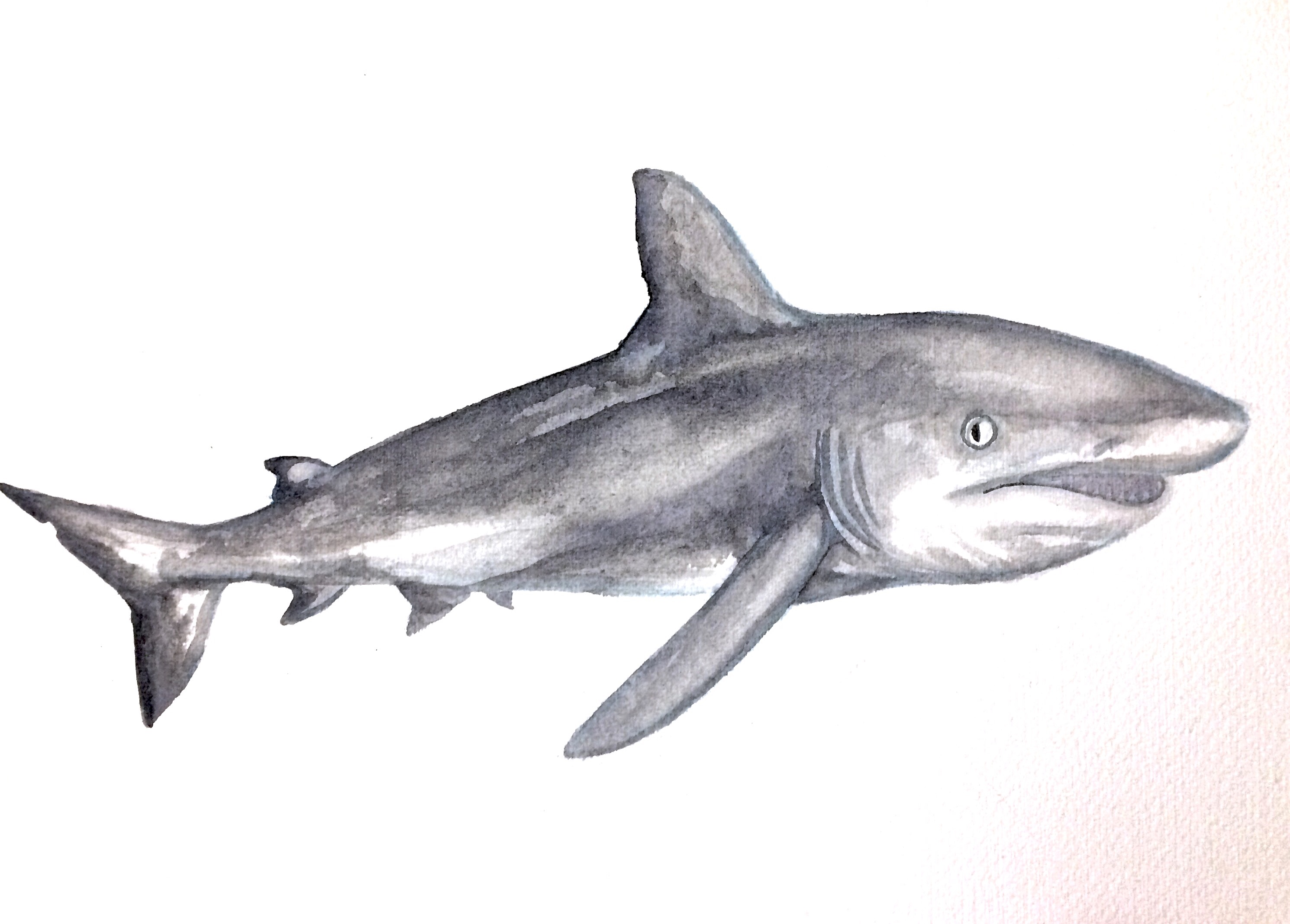 28/365 Grey Reef Shark
